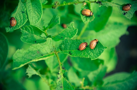 The red colorado beetles larva feeding potato leaf