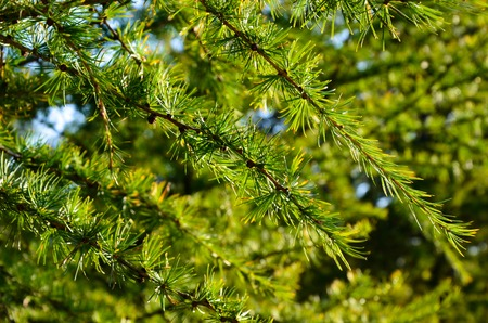 sky brunch: Young conifer of a larch tree closeup. Natural background