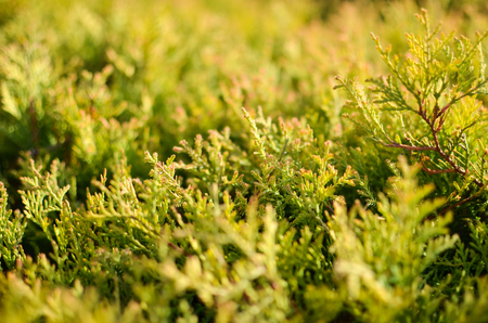 The branches of the cypress or Thuja closeup Stock Photo