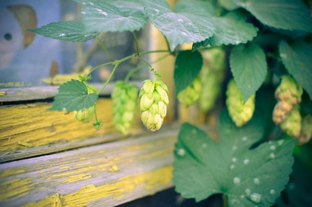 hopfield: Detail of hop cones in the field in autumn