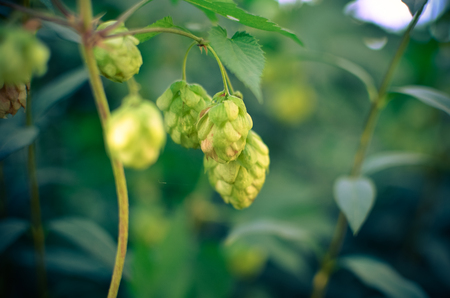 Detail of hop cones in the field in autumn