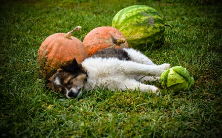Puppy outdoors on the grass with pumpkin on a sunny day