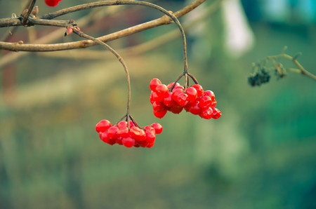 guelderrose: Branch of red berries of a guelder-rose at winter