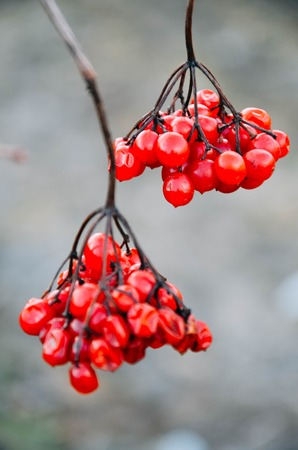 Branch of red berries of a guelder-rose at winter