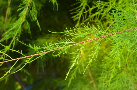 Tamarix branches on a green background without blossom Stock Photo