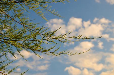 Tamarix meyeri Boiss bush in the garden against blue sky.