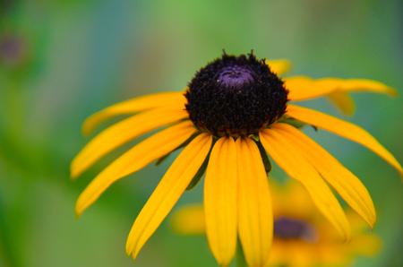 Rudbeckia Summerina Yellow Coneflower, also known as Black-eyed Susan . Hardy Perennial.