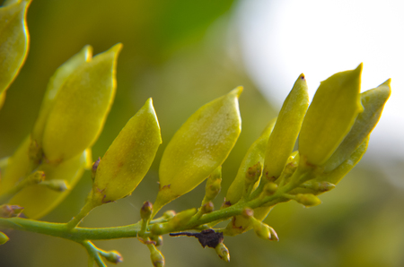 gynoecium: Lilac raw seeds on the branch in yellow colours Stock Photo