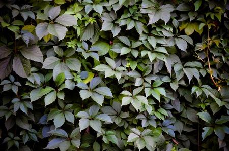 calendario octubre: Parthenocissus uva silvestre pared verde como fondo