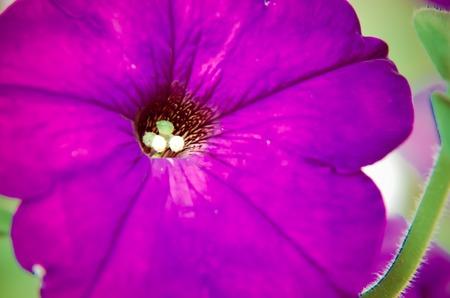 purple petunia bloom reaching up from the flower garden closeup