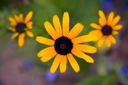 Yellow flowers of rudbeckia Rudbeckia close up Stock Photo