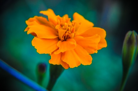 Macro of orange marigold flower in big close up.
