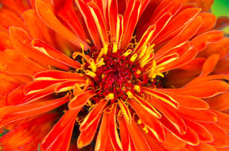 Red flower of Youth-and-age, Zinnia elegans, macro, selective focus, shallow Stock Photo