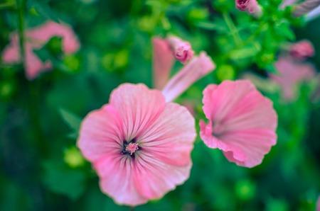 big beautiful pink flowers of Lavatera closeup on the blurry background. Stock Photo
