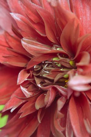 Maroon Dahlia closeup fromm summer garden as background