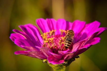 Macro of a bee collecting pollen on a decorative garden flower zinnia elegans .