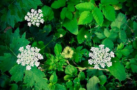 sepals: Cow Parsley Anthriscus sylvestris - white summer field flower - background
