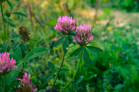trifolium: Flowering clover flower on a field Trifolium pratense . close-up shot.