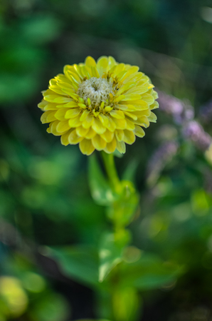 photographies: Closeup of round yellow zinnia flower in a garden with green leaves in the background Stock Photo