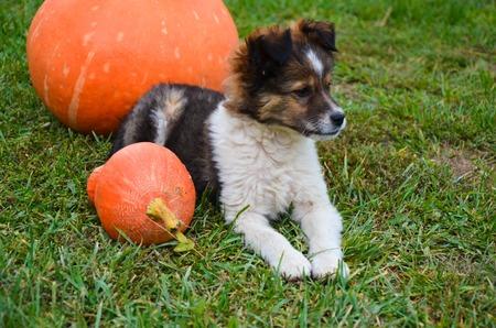 Fluffy puppy with a pumpkin on a green grass