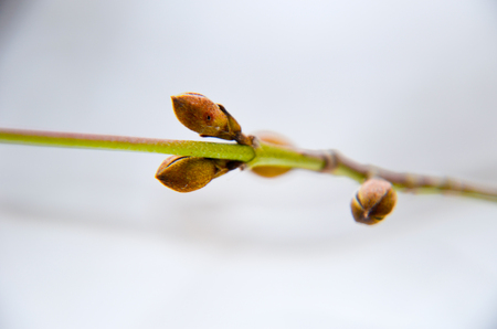 Dogwood tree bud at winter as background Banque d'images