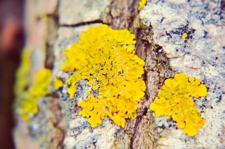 Yellow moss on the tree in winte Stock Photo