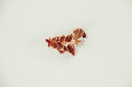 Euonymus fortunei red coloured in snow at winter