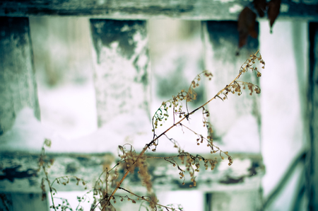 fencepost: Dry plant at white fence background at winter
