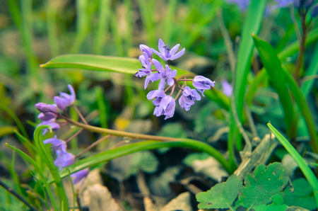 Flowers of Wood squill Scilla siberica in spring forest Stock Photo