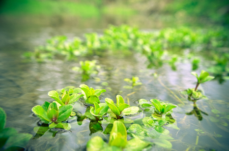 Water green seaweed plants in river at spring Stock Photo