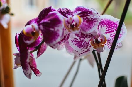 Blooming purple orchids flower. Phalaenopsis beautiful closeup Stock Photo