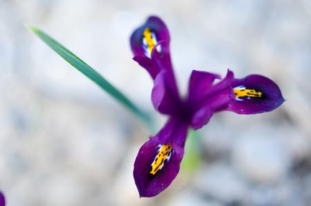 reticulata iris: Iris reticulata Iridodictyum on flower bed in violet and yellow colors