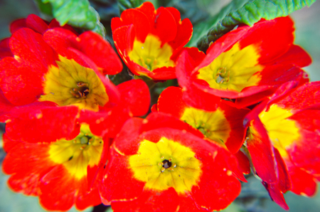 Closeup of red and yellow primrose Primula flowers background