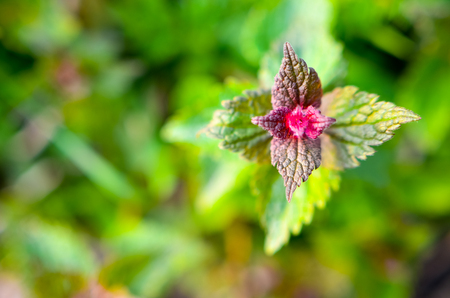 Purple dead-nettle wild flower leaves at spring Stok Fotoğraf