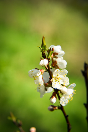 Spring blossom with white flowers on apricot brunches in April