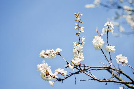 sky brunch: Studio shot of apricot blossom brunch over blue