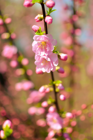 Branch with beautiful pink flowers of Amygdalus triloba bush at spring closeup
