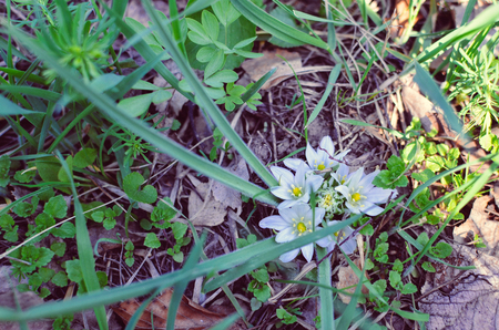 lance shaped: Close-up of white flowers of Star of Bethlehem Ornithogalum plant with green lance-shaped leaves