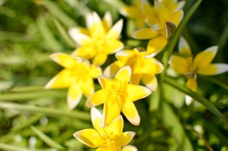 awaking: Many wild yellow small tulips growing in ukrainian park in Kyivspringtime