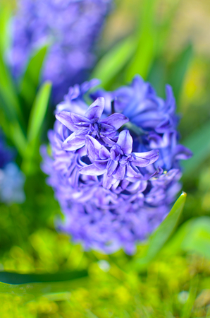 horticultural: Blue hyacinth bloomed on a flowerbed in the garden