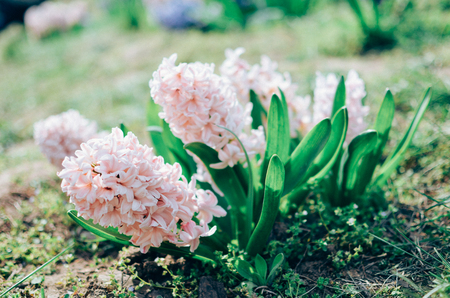 Background of tender pink flowers hyacinths closeup. Spring theme