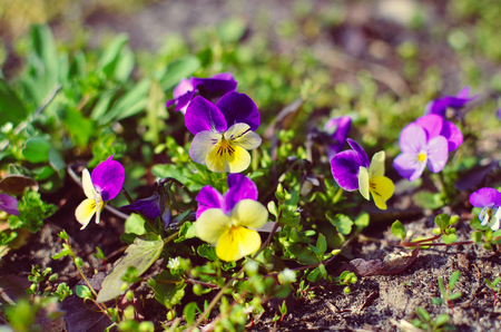 violas: Violas or Pansies Closeup in a Garden different colors