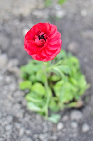 Red buttercup closeup or Ranunculus flower at spring Stock Photo