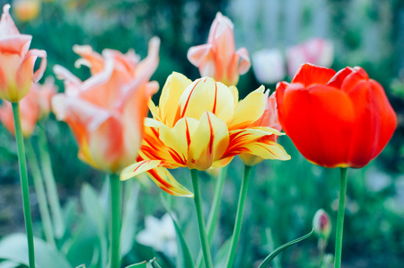 dutch typical: Red and yellow tulips with selective focus