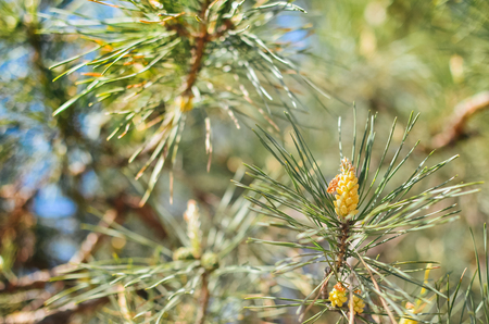 Picture of pine branchlets early spring, pine blooms Stock Photo