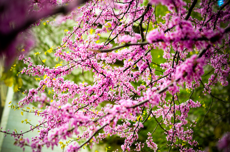 Purple Spring Blossom. Cercis Canadensis or Eastern Redbud Flowers