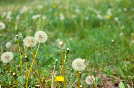 Dandelion seed outdoors closeup in white and green colors Stock Photo