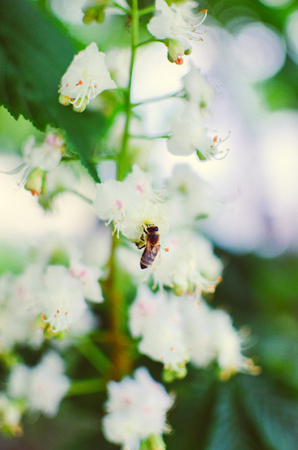 small world: Bee on chestnut tree flowers