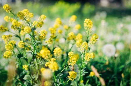 Wild yellow fluffy Barbarea flower in a field