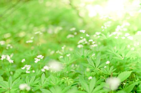 Spring Asperula graveolens white flowers horizontal background